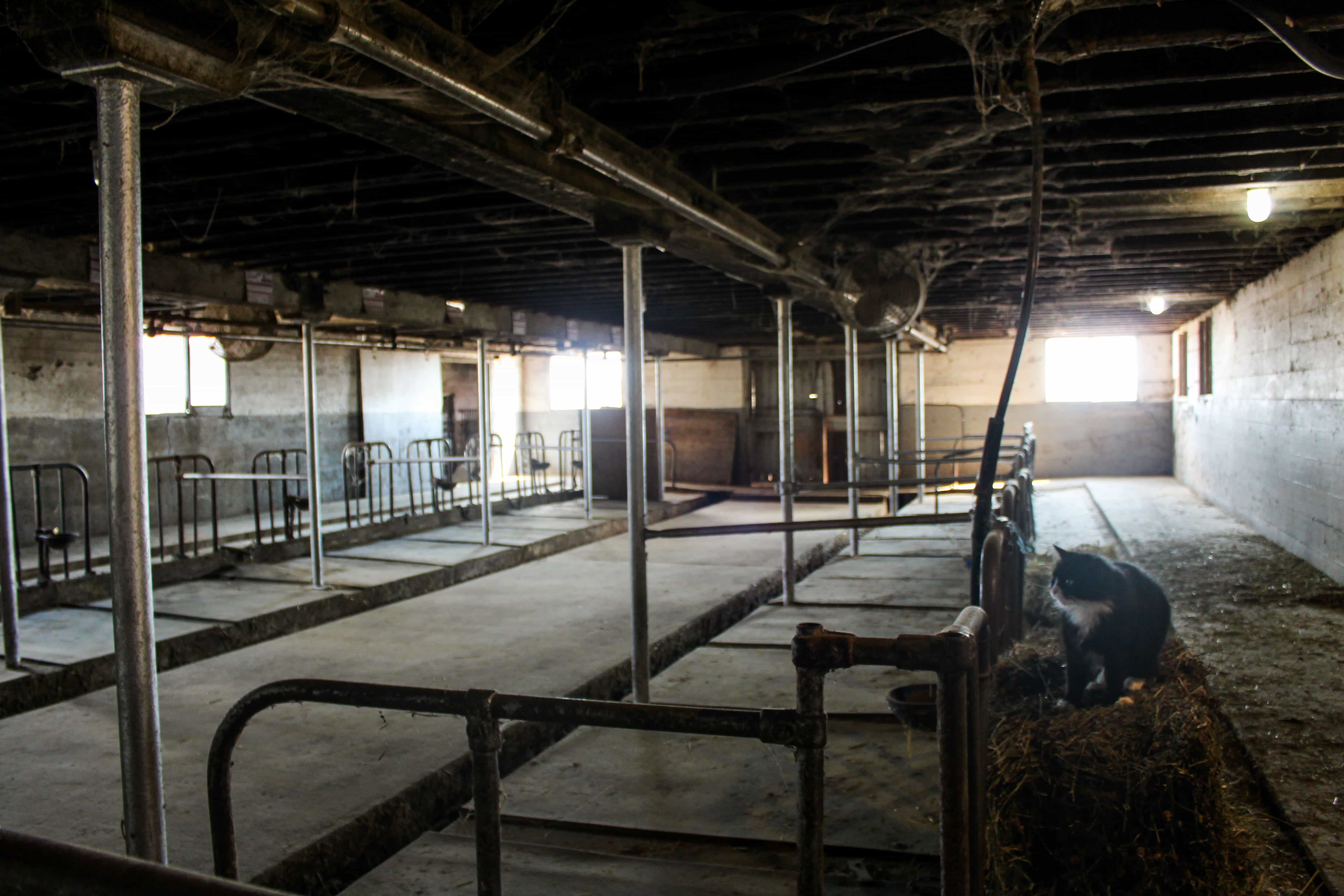 For nearly a century, the Gill family produced milk and dairy at Rose Ridge Dairy Farm near Niagara Falls, Ontario. In 2018, the family sold their herd of 40 lactating cows and transitioned to raising cows for meat production leaving empty milking stalls such as these.
