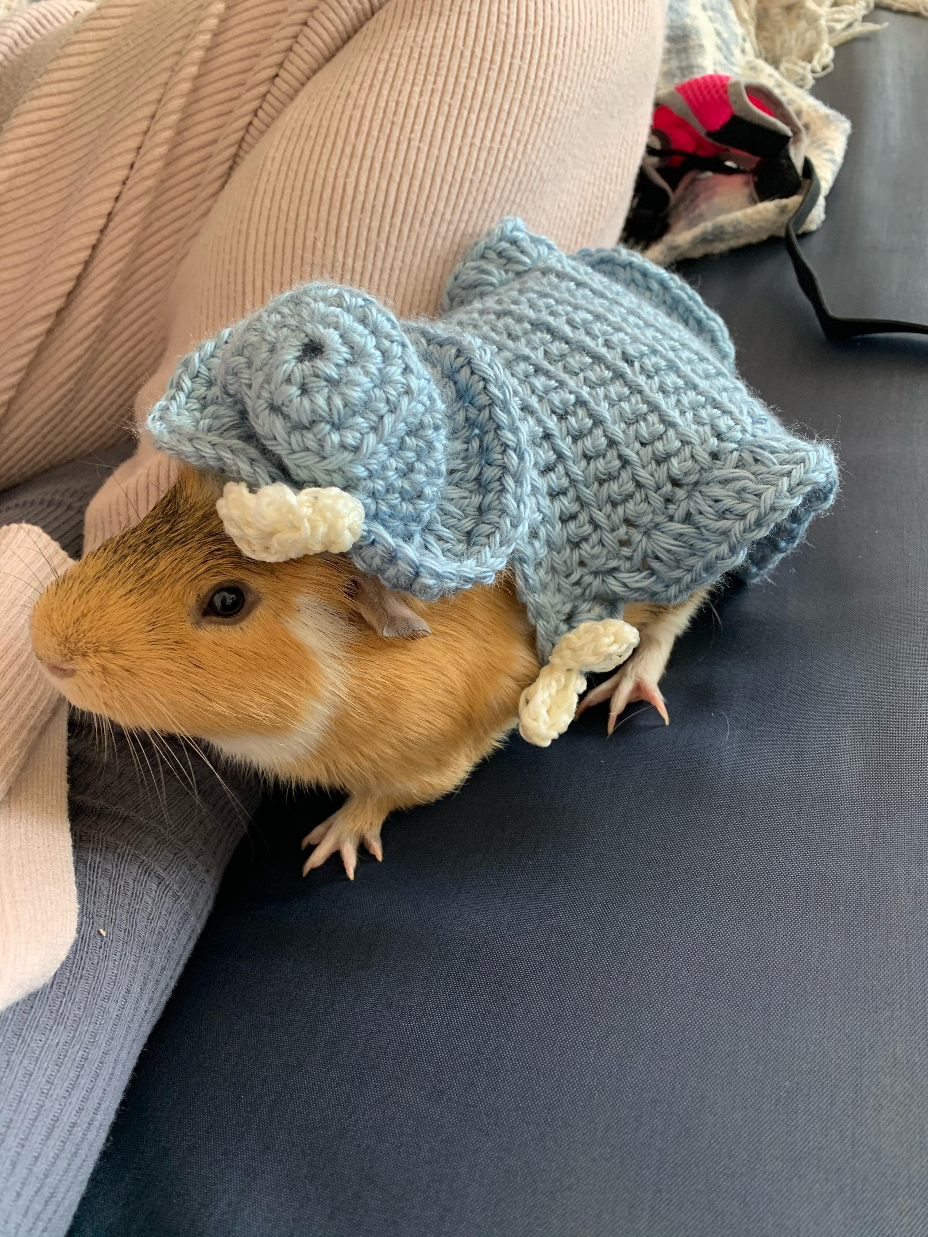 Freddie, one of SU senior Anna Gulizio's guinea pigs, styles homemade knitted clothing.