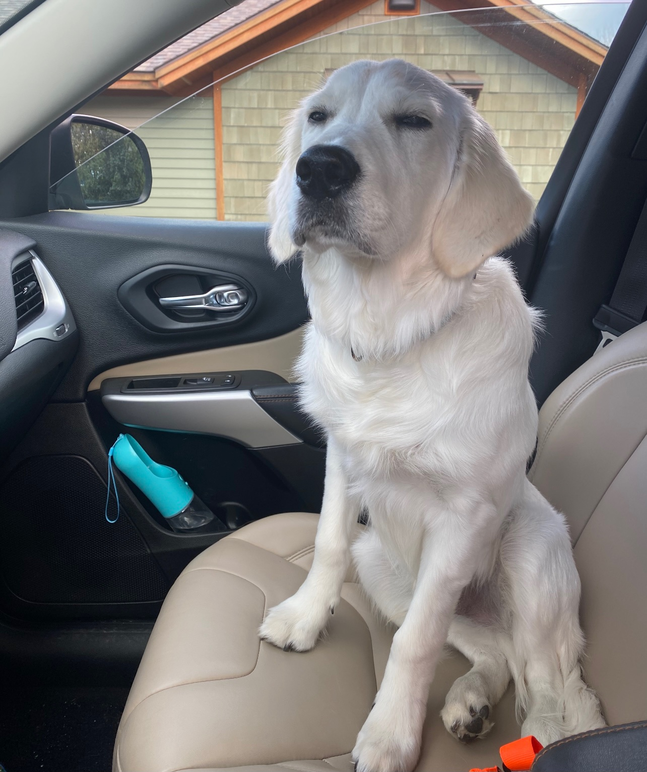 Bentley, SU sophomore Mandy Good's English golden retriever, sits in the passenger seat of a car.