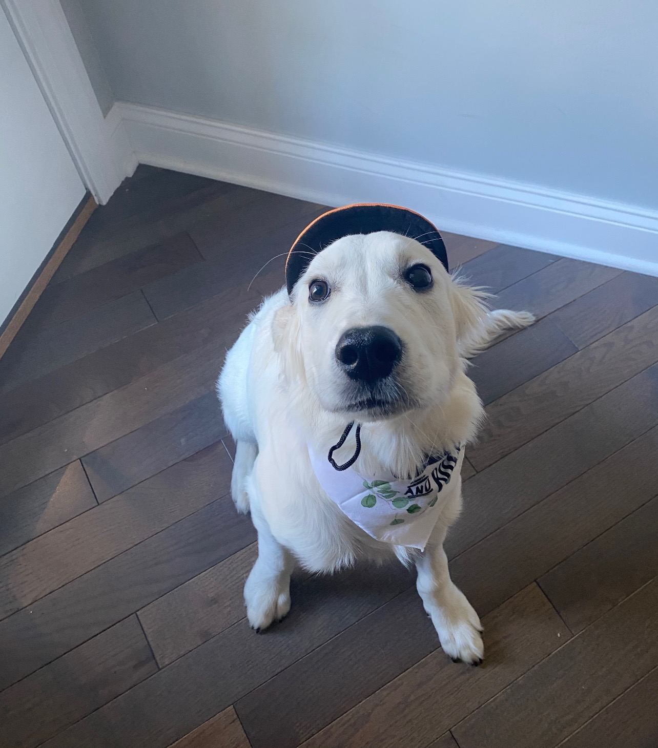 SU sophomore Mandy Good's English golden retriever poses for a photo wearing a hat and bandana.