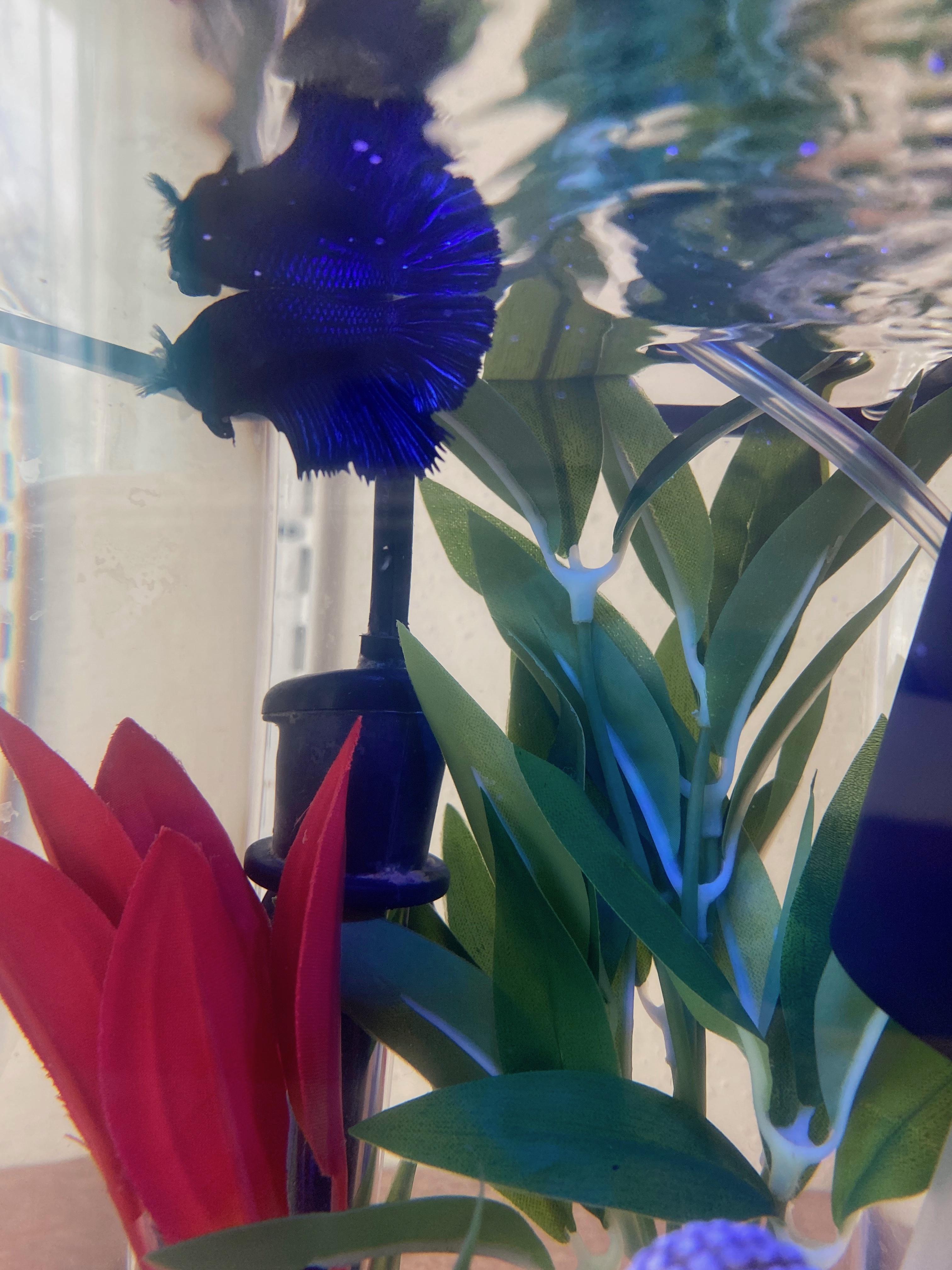 SU sophomore Ariel Samuel's betta fish, Raven, swims in her bowl in Samuel's South Campus apartment.
