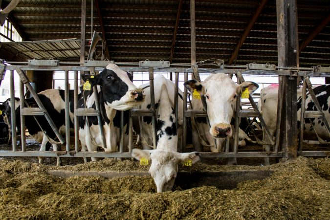 Cows at Blumer Farm in Alexander, New York, have lunch.