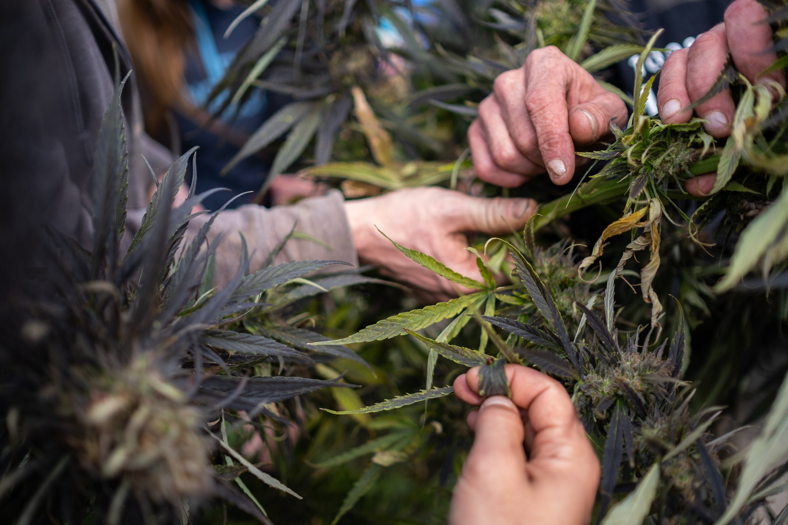 George shows festival-goers different parts of the hemp plant.