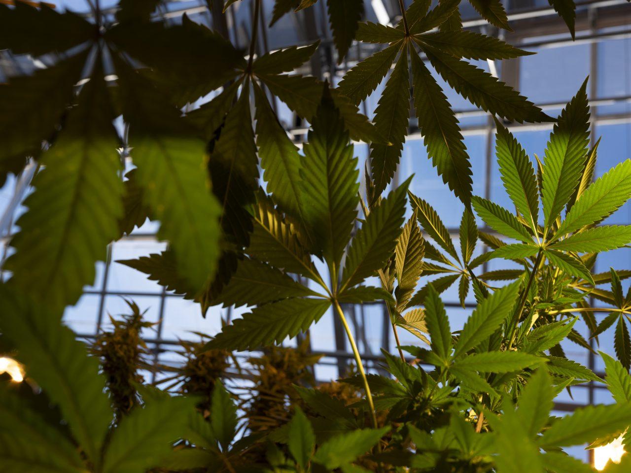 Marijuana plants at the Surge Laboratory in Geneva.