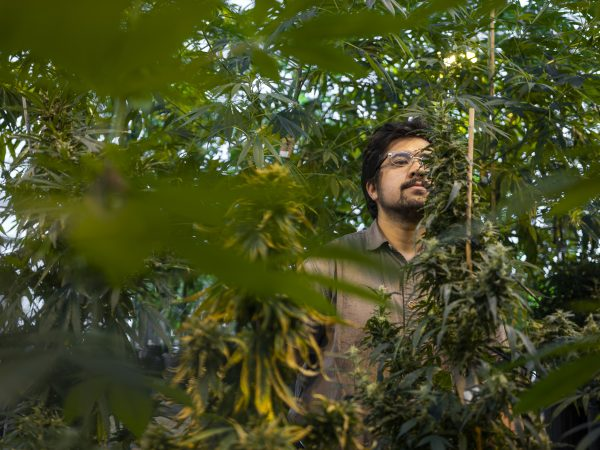 Jacob Toth inspects a marijuana plant in the Surge Laboratory greenhouse.