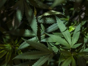 Marijuana plants from Cornell Labs.